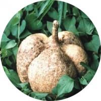 Pueraria_mirifica_plant